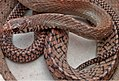 Rat SnakeSihri.jpg