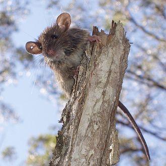 Bush rat - Image: Rattus fuscipes 2