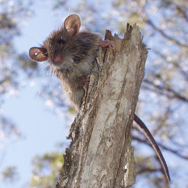 File:Rattus fuscipes2.JPG