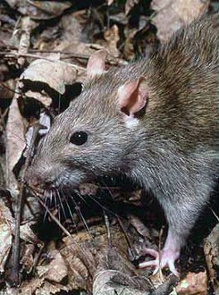 The common Brown Rat (Rattus norvegicus)