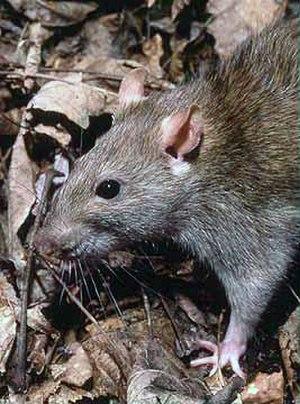 Rat - The brown rat (Rattus norvegicus)