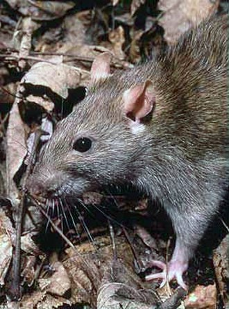 Rat - Brown rat (Rattus norvegicus)