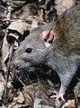89px-Rattus norvegicus 1