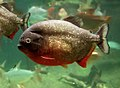 Red-bellied Piranha (Pygocentrus nattereri) 2.jpg