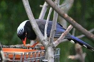 Red-billed blue magpie - Red-billed blue magpie