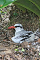 Red-billed Tropicbird on the nest (Phaeton aethereus mesonauta).jpg