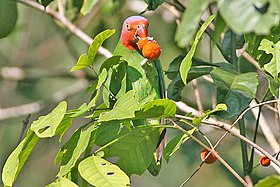 Red-cheeked Parrot.jpg