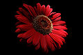 Red-daisy-macro-on-black - Virginia - ForestWander.jpg