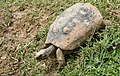Red-footed Tortoise (Chelonoidis carbonarius) (Captive specimen) (40559859141).jpg