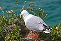 Red Billed Gull And Chick (8245893335).jpg