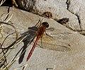 Red Dragonfly 3 (7974384944).jpg