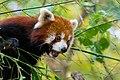 Red Panda (26773610839).jpg