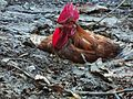 Red Rooster in Nepal.jpg