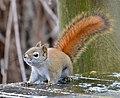 Red Squirrel (193737389).jpeg