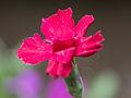 Red flower (14191132798).jpg