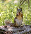 Red squirrel (Tamiasciurus hudsonicus) (19433395510).jpg