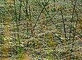 Reedbed, Loch Lennous - geograph.org.uk - 468741.jpg