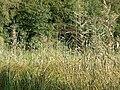 Reeds, Blakemere Pool - geograph.org.uk - 254656.jpg