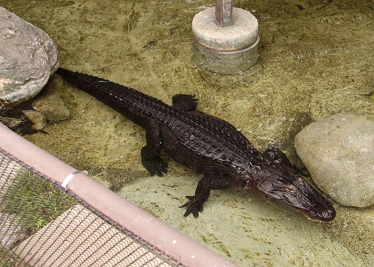 Reggie Alligator Wikipedia