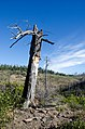 Remnant of Hash Rock Fire's Sentinel Tree, Ochoco National Forest (26341898492).jpg