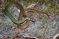 Rhabdophis nigrocinctus, Black-banded keelback - Khao Soi Dao Wildlife Sanctuary (40300840843).jpg