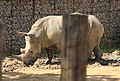 Rhinoceros - Parc Zoologique de Paris, August 2015.jpg