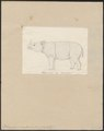 Rhinoceros sumatrensis - 1700-1880 - Print - Iconographia Zoologica - Special Collections University of Amsterdam - UBA01 IZ22000251.tif