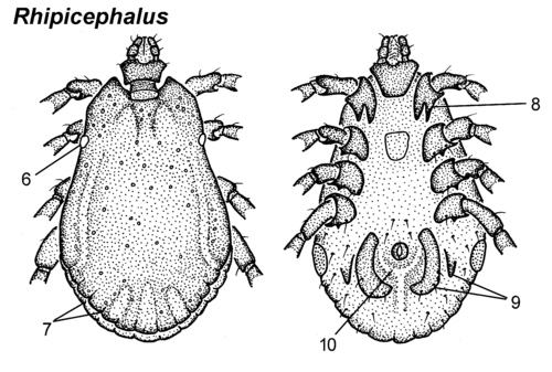 Rhipicephalus-male-dorsal-ventral.png