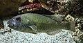 Rhodes Aquarium - Sparisoma cretense.jpg