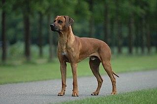 Rhodesian Ridgeback Dog breed