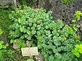 Rhodiola rosea - Berlin Botanical Garden - IMG 8501.JPG