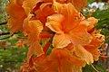 Rhododendron 'Capri' Flower 3008px.jpg