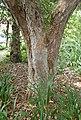 Rhododendron arboreum kz1.jpg