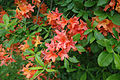 Rhododendron calendulaceum 1.jpg