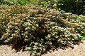 Rhododendron degronianum subsp. yakushimanum - UBC Botanical Garden - Vancouver, Canada - DSC07865.jpg