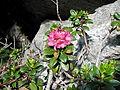 Rhododendron ferrugineum kpjas 1.jpg