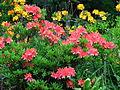 Rhododendron japon. 03.JPG