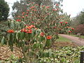 Rhododendron lanigerum.JPG