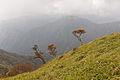 Rhododendron quinquefolium 09.jpg