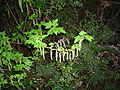 Ribes magellanicum-rama.JPG