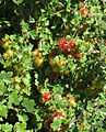 Ribes roezlii spiny fruit.jpg