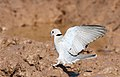 Ring-necked Dove (also known as Cape Turtle Dove), Streptopelia capicola, at Mapungubwe National Park, Limpopo, South Africa (18839641471).jpg