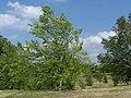 River Birch Betula nigra.JPG