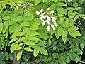 Robinia pseudoacacia. Alcacia.jpg