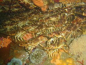 Jasus lalandii - Image: Rock lobsters at Bakoven Rock DSC10992