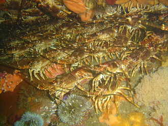 Jasus lalandii - Image: Rock lobsters at Bakoven Rock DSC10992