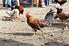 Rooster in Otavalo 02.jpg