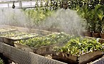 Rooting of softwood cuttings of elm under the mist propagation system.jpg