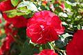 Rosa La Sevillana Trepador Francia 1997 (11982184205).jpg