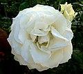 Rosa branca (227638529).jpg